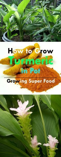 Turmeric is a superfood and has many medicinal benefits. Growing turmeric in…