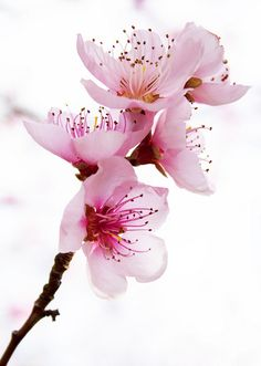 Beautiful pink blossoms ✿⊱╮