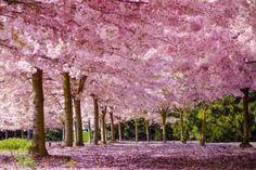Melhores lugares no mundo para contemplar a florada das cerejeiras