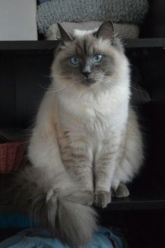Siberian cat, Neva Masquerade, Avel