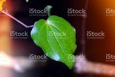 New Zealand Native Kawakawa (Piper Excelsum) royalty-free stock photo Image Now, New Zealand, Nativity, Plant Leaves, Flora, Royalty Free Stock Photos, News, Photography, Photograph
