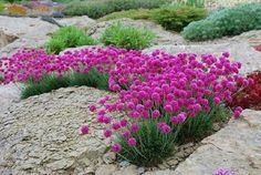 Zawciąg nadmorski Splendens (Select) Balcony Plants, The Selection, Landscape, Garden, Armenia, Police, Outdoors, Home And Garden, Balcony Planters