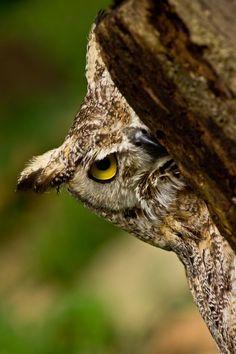 You see me?Photo by Letizia Díaz Owl Photos, Owl Pictures, Owl Bird, Pet Birds, Grand Duc, Screech Owl, Owl Eyes, Owl Always Love You, Beautiful Owl