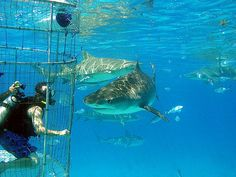 Cage Diving on the Farallon Islands with sharks!  I am so going to to this one day!!!!