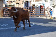 Santacara: Vacas de Vicente Domínguez - Año 2016 (8)