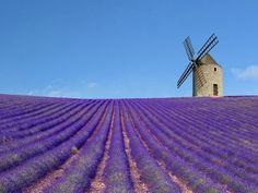 moulin et champ de lavande