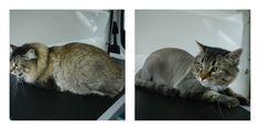 Ranger #Groomed by Aussie Pet Mobile #Delta #Richmond Team! #pets #cats http://www.aussiepetmobile.ca/delta-richmond/