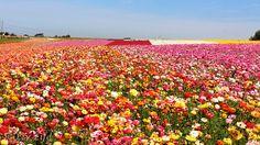 Flower Fields at Carlsbad Ranch
