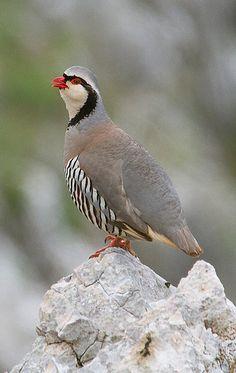 Alectoris graeca - góropatwa skalna - Rock Partridge NT