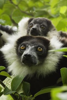 Black And White Ruffed Lemurs by Power And Syred