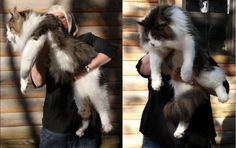 15 (Very!) Large Cats That Do Not Doubt How Cool They Are