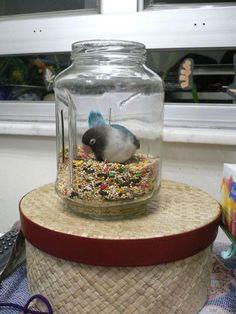 Sneaky Black faced lovebird! lol Haha, So is my bird too!
