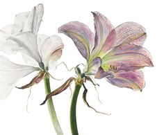 Botanical reproduction fine art prints of flowers initialed by the artist