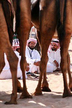 al dhafra camel festival, in zayed city – western region, U.A.E....