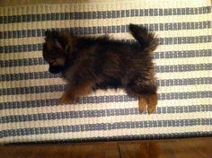 Sleeping pomeranian