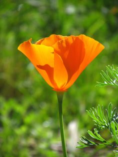 Hi all, here is a California poppy that just opened-up. Here is the wrapped canvas print of this poppy:  http://www.zazzle.com/beautiful_yellow_orange_flower-192994243747561606  not too many flowers this year here in California.