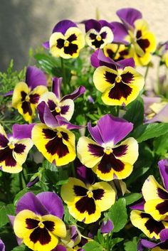"""Most recent Free of Charge Pansies flowers Strategies Pansies would be the colorful flowers with """"faces."""" A cool-weather favorite, pansies are fantast Rare Flowers, Colorful Flowers, Purple Flowers, Beautiful Flowers, Exotic Flowers, Yellow Roses, Pink Roses, Bouquet Flowers, Blue Lotus Flower"""