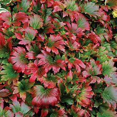 plantfinder.sunset.com - Mukdenia rossii 'Crimson Fans'  - Red-leafed Mukdenia