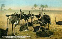 Historic South Pasadena | Cawston Ostrich Farm, South Pasadena, California