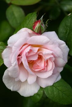 Eglantyne - Shrub, light pink, very double, 1994, rated 7.9 (very good) by ARS.