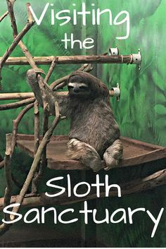 The world's only sloth sanctuary is located just outside Cahuita on the Caribbean Coast of Costa Rica. Here they rescue and rehabilitate sloths as well as take of the ones who cannot be released.