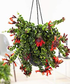 Lipstick Plant Care and Growing Guide - Excellent For Hanging Baskets All Plants, Indoor Plants, Hanging Plants Outdoor, Porch Plants, Foliage Plants, Shade Plants, Exotic Flowers, Red Flowers, Lipstick Plant