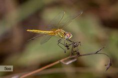 Dragonfly by Alex Edo on 500px