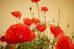 Campo de primavera de flores de la amapola Foto de archivo - 20339044