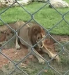 Circus Lion Freed From Cage Feels Earth Beneath His Paws For The First Time