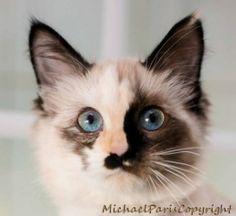 Lizzie: Ragdoll, Cat; Davis, CA Lizzie: 4 to 5 month old female tortie point Ragdoll kitten  Fostered by Harriet in Santa Cruz, CA.