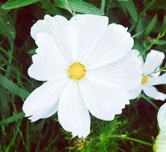 Cosmos #cosmos #flower #essenceflorale #elixirfloral #floralelixir #medicine #plante #garden #medicinegarden #flowerland #flowersarebeautiful #nature #planetearth #cosmicflower #lausanne #switzerland #flowerpoetry #soulflower