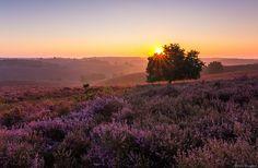 Nice glow on purple heather De Postbank The Netherlands