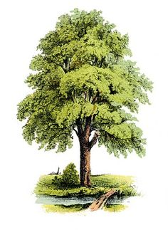 Antique Clip Art Image - Lovely Green Tree - The Graphics Fairy