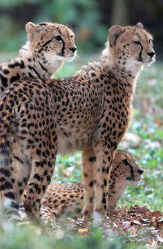 *Cheetahs