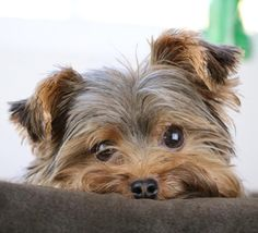 """Visit our web site for even more details on """"Yorkshire terrier dogs"""". It is actually an excellent spot for more information. Cute Puppies, Cute Dogs, Dogs And Puppies, Super Cute Animals, Cute Funny Animals, Yorkshire Terrier Puppies, Terrier Dogs, Westies, Dog Varieties"""