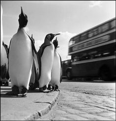 Photograph Taken by Werner Bischof - G.B. 1950. Edinburgh. Penguins from the zoo taking their weekly walk.