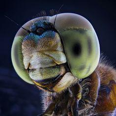 Dragonfly . . ========================. . * canon eos 1100D + kit 18-55mm * Extension tube + Tube diffuser Mark II * 2 External Flash YN…