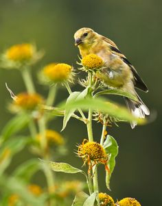 Goldfinch Eating by Lorraine Hudgins, via 500px