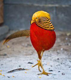 Fotografía Golden Pheasant por Raducu Petrache en 500px