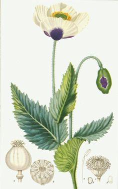 Google Bilder-resultat for http://b-and-t-world-seeds.com/images/436486.jpg
