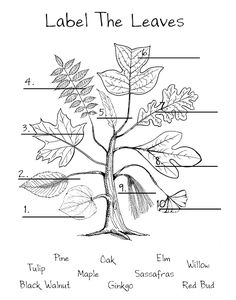 red bud elm maple black walnut willow tulip oak sassaf… – My Favorite Plant Science, Science Nature, Science For Kids, Life Science, Science Fun, Leaf Identification, Tree Study, Outdoor Education, Nature Activities
