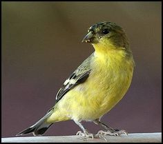 Wild Canary....I'm so tickled to have Wild Canaries....hope I can keep them coming!