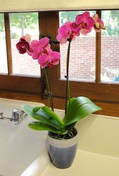 Quick Fertilizing Guide to Maintain your Orchid's Health Though your Just Add Ice Orchids do not require regular fertilizing, doing so can help the orchid maintain optimum health and bloom. Indoor Orchids, Orchids Garden, Indoor Flowers, Orchid Plants, Exotic Flowers, Garden Plants, Indoor Plants, House Plants, Beautiful Flowers
