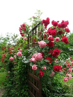 Fence is hidden by the beautiful roses