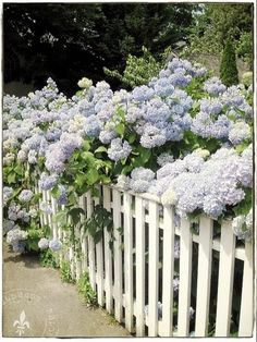 Hydrangeas gracefully drape a picket fence