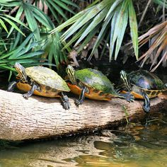 Turtles at Green Cay Wetlands