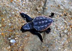 Baby Turtle Making His Way To The Sea