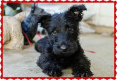 Scottish Terrier photos | Scottish Terrier and Dog News