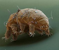 "Tardigrade - ""Water Bear"""