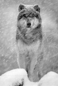 Wolf in a snow storm... Ever watchful!!!